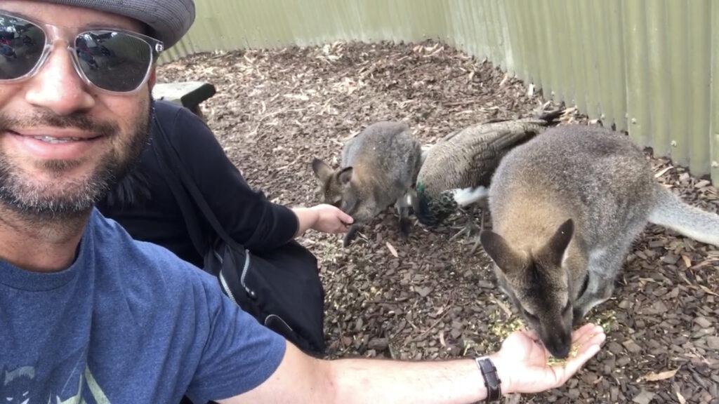 feeding kangaroos australia